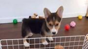 可愛的柯基小奶狗如同一隻會動的毛絨玩具,我的心都要被它萌化了